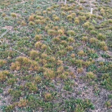 Three days after spraying, the grass begins to burn back.