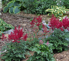 Astilbe bring color as well as fragrance to the shade garden.