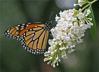 Fragrant flowers of Buddleia attract loads of butterflies