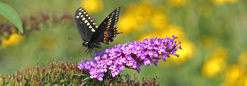 ButterflyBuddleia