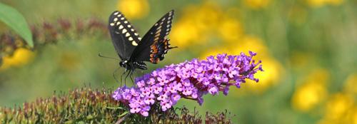 ButterflyBuddleia