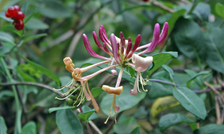 The beautiful honeysuckle flowers fill the air with sweet summer fragrance