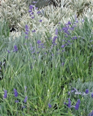 Many interesting varieties of lavender are available including a silver edged lavender