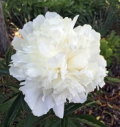 Peony 'Belle Chinoise' has a lovely fragrance