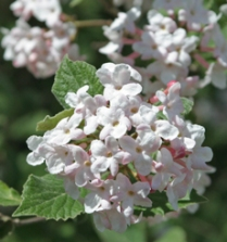 Viburnum carlesii fills the air with its sweet perfume in the spring