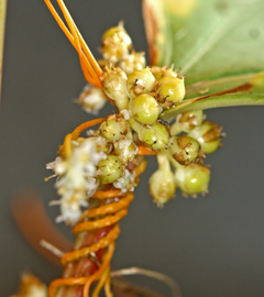 Seed capsules of common dodder contain up to 4 seeds each.