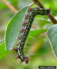 The older azalea caterpillars are very colorful