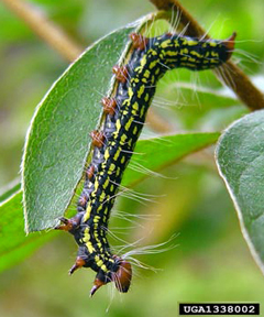 Black And Yellow Caterpillars With Red Head And Legs Viette S Views