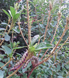 Azalea caterpillars have consumed much of the young leaves of this azalea