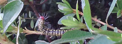 Azalea caterpillar feeding on azalea foliage